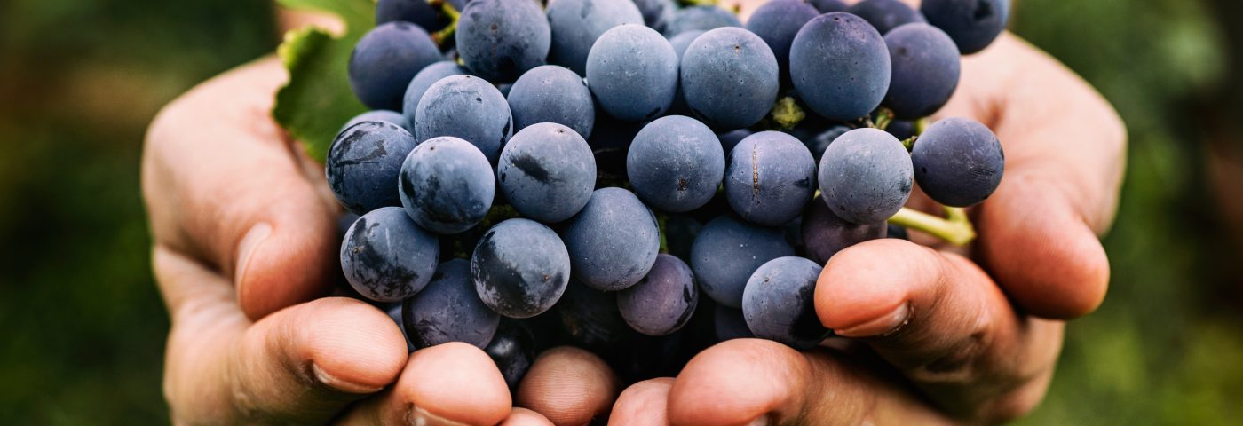 How Compound in Grapes and Wine Prevents Bacteria-Triggered Airway Inflammation Identified