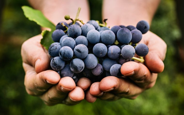 resveratrol and lung infections